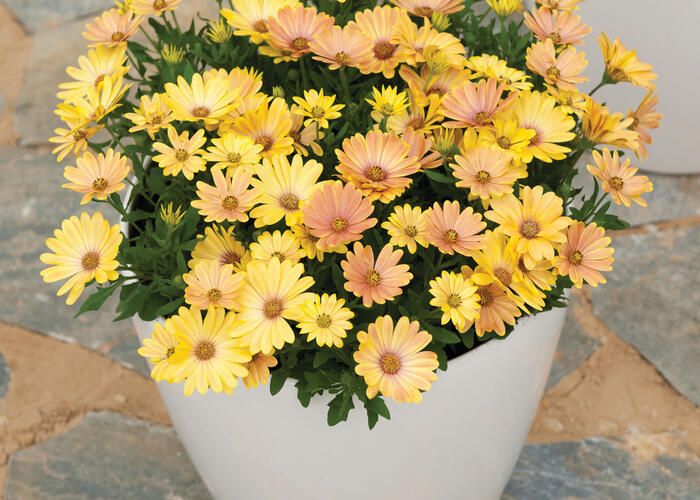 Dvoutvárka 'Cape Daisy Magic Sunrise' - Osteospermum ecklonis 'Cape Daisy Magic Sunrise'