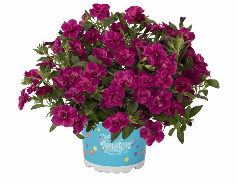 Minipetunie, Million Bells 'Aloha Double Purple' - Calibrachoa hybrida 'Aloha Double Purple'