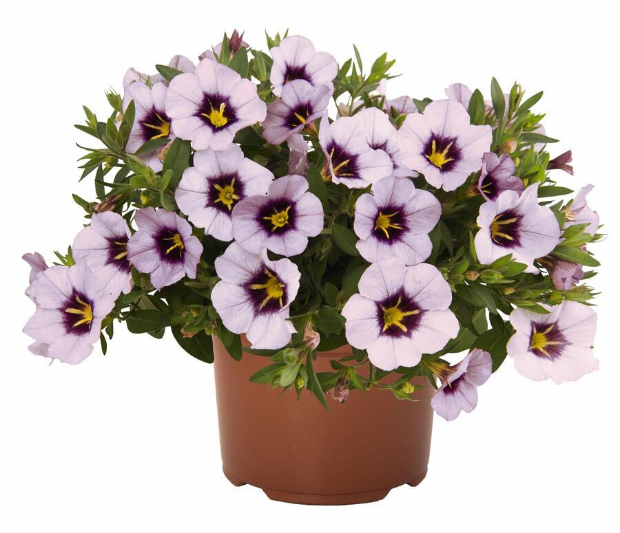 Minipetunie, Million Bells 'Blomtastic Lavender Quartz' - Calibrachoa hybrida 'Blomtastic Lavender Quartz'