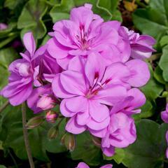 Muškát, pelargonie převislá plnokvětá 'Double Royal Lavender' - Pelargonium peltatum 'Double Royal Lavender'