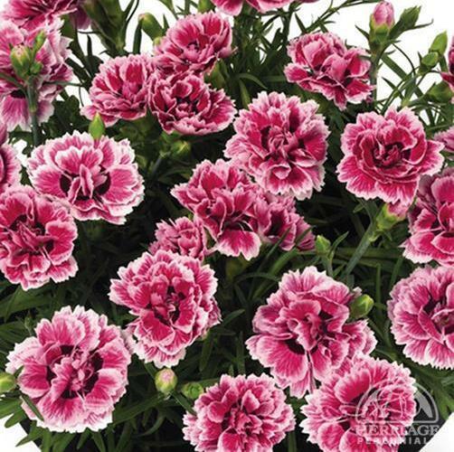 Hvozdík karafiát 'Sunflor Esta' - Dianthus caryophyllus 'Sunflor Esta'
