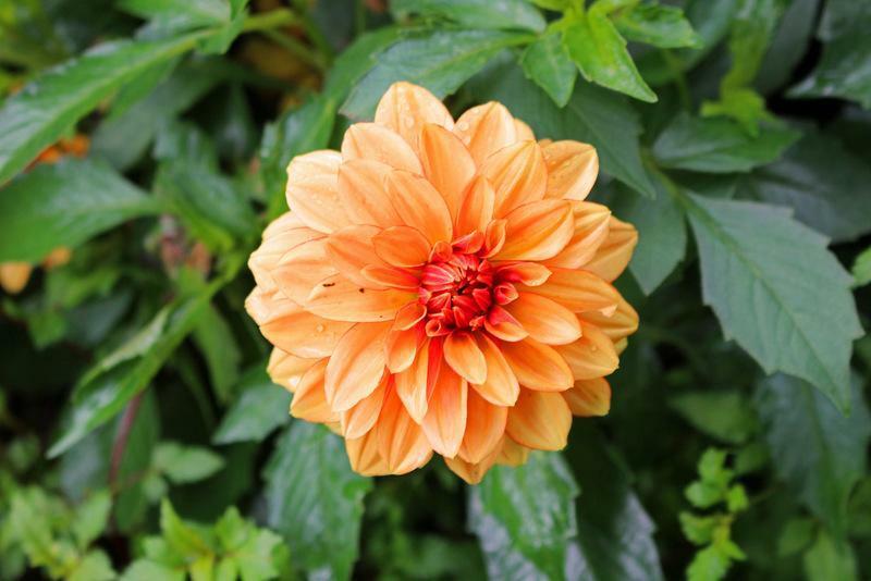 Jiřina 'Lubega Special Orange Bicolor' - Dahlia 'Lubega Special Orange Bicolor'