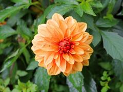 Jiřina 'Lubega Special Orange Bicolor' - Dahlia 'Lubega Special Orange Bicolor'