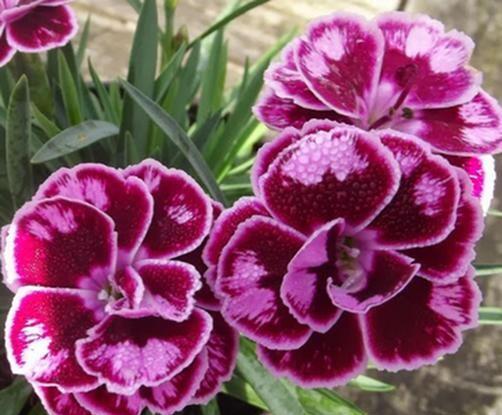 Hvozdík karafiát 'Sunflor Charmy Whila' - Dianthus caryophyllus 'Sunflor Charmy Whila'