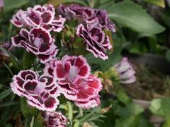 Hvozdík karafiát 'Sunflor Bianca' - Dianthus caryophyllus 'Sunflor Bianca'