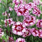 Hvozdík karafiát 'Sunflo Charmy' - Dianthus caryophyllus 'Sunflor Charmy'