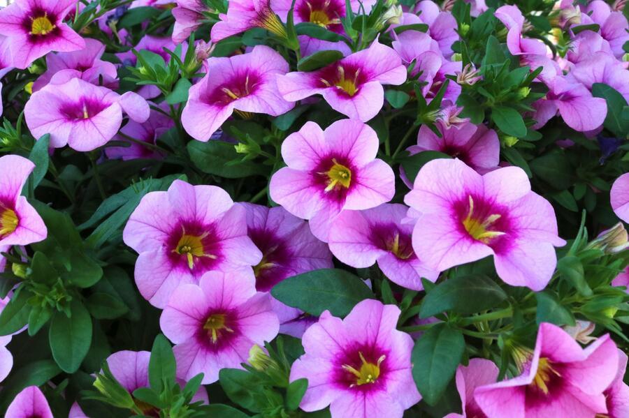 Minipetunie, Million Bells 'Blomtastic Rose Quartz' - Calibrachoa hybrida 'Blomtastic Rose Quartz'