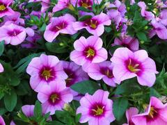 Minipetunie, Million Bells 'Blomtastic Rose Quartz' - Calibrachoa hybrida 'Blomtastic Rose Quartz'