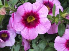 Minipetunie, Million Bells 'Hula Soft Pink' - Calibrachoa hybrida 'Hula Soft Pink'
