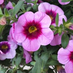 Minipetunie, Million Bells 'Hula Soft Pink' - Calibrachoa hybrida 'Hula Soft Pink'