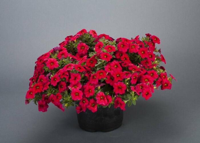 Minipetunie, Million Bells 'Noa Dark Red' - Calibrachoa hybrida 'Noa Dark Red'