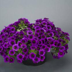 Minipetunie, Million Bells 'Noa Ultra Purple' - Calibrachoa hybrida 'Noa Ultra Purple'
