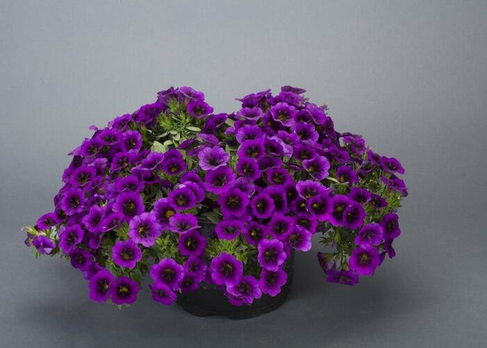 Minipetunie, Million Bells 'Noa Ultra Purple' - Calibrachoa hybrida 'Noa Ultra Purple'