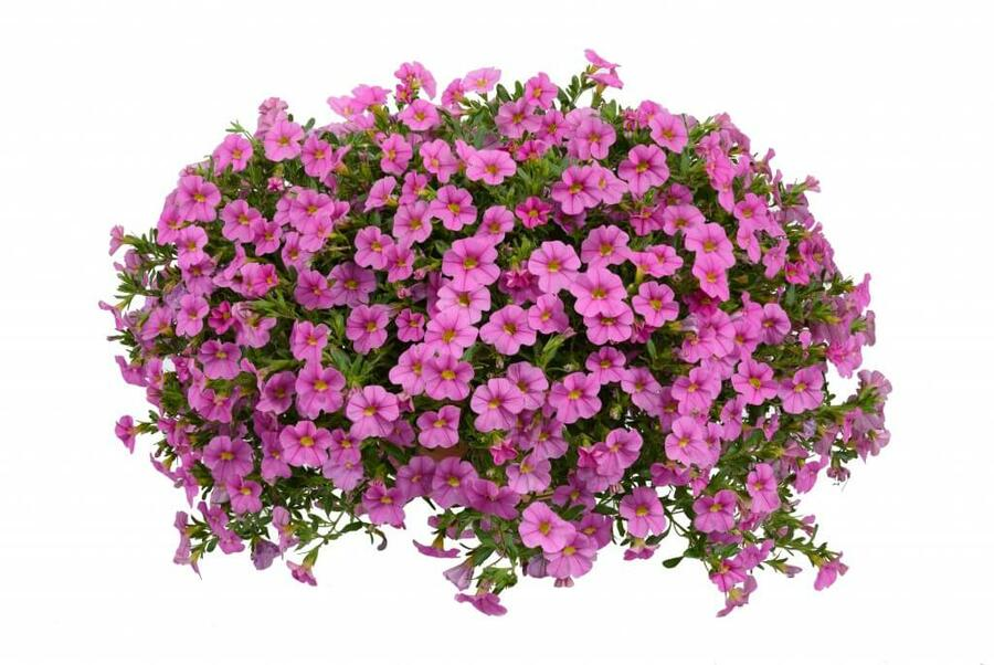 Minipetunie, Million Bells 'Noa Mega Pink' - Calibrachoa hybrida 'Noa Mega Pink'