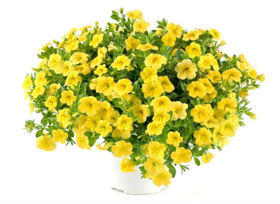 Minipetunie, Million Bells 'Noa Yellow' - Calibrachoa hybrida 'Noa Yellow'