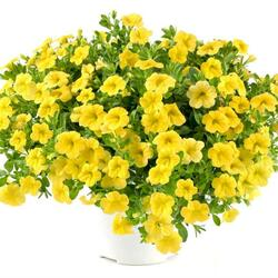 Minipetunie, Million Bells 'Noa Yellow' - Calibrachoa hybrida 'Noa Yellow'