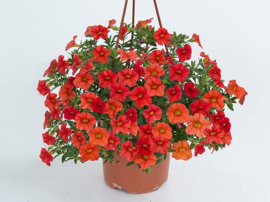 Minipetunie, Million Bells 'Papaya' - Calibrachoa hybrida 'Noa Papaya'