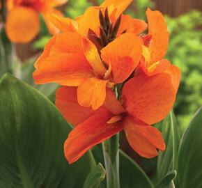 Dosna indická 'Cannova F1 Orange Shades' - Canna indica 'Cannova F1 Orange Shades'