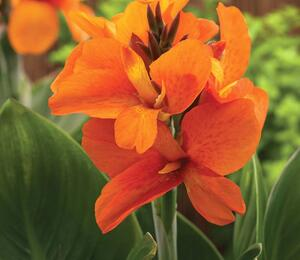 Dosna indická 'Cannova F1 Orange Shades' - Canna indica 'Cannova F1 Orange Shades'