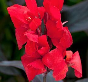 Dosna indická 'Cannova F1 Bronze Scarlet' - Canna indica 'Cannova F1 Bronze Scarlet'
