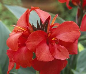 Dosna indická 'Cannova F1 Red Shades' - Canna indica 'Cannova F1 Red Shades'