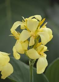 Dosna indická 'Cannova F1 Yellow' - Canna indica 'Cannova F1 Yellow'
