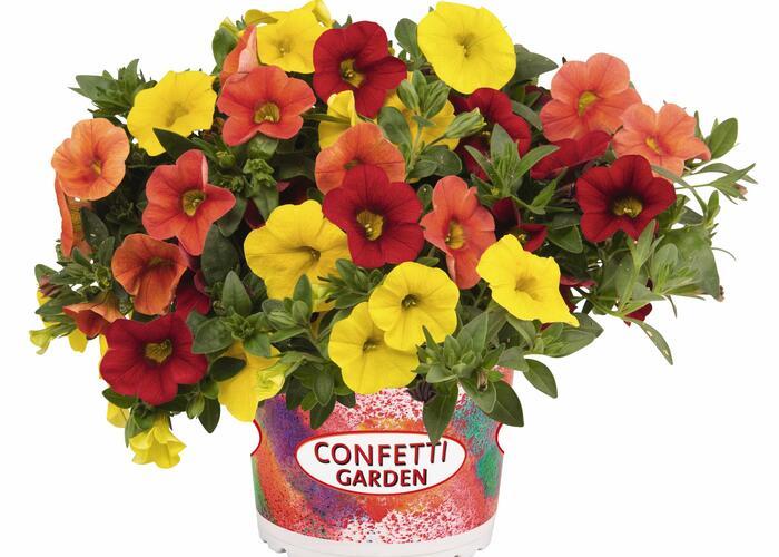 Minipetunie Confetti Garden 'Hawaian Summer' - Calibrachoa Confetti Garden 'Hawaian Summer'