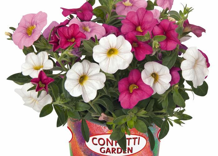 Minipetunie Confetti Garden 'Hawaian Pink Fusion' - Calibrachoa Confetti Garden 'Hawaian Pink Fusion'