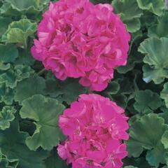 Muškát, pelargonie páskatá klasická 'Bright Rose' - Pelargonium zonale 'Bright Rose'
