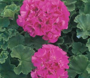Muškát, pelargonie páskatá klasická 'Bright Rose'' - Pelargonium zonale 'Bright Rose'