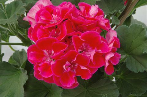 Muškát, pelargonie vzpřímená 'Moonlight Corali' - Pelargonium zonale 'Moonlight Corali'