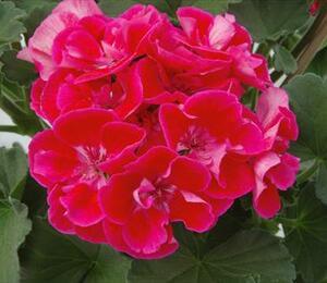 Muškát, pelargonie vzpřímená 'Moonlight Coralii' - Pelargonium zonale 'Moonlight Corali'