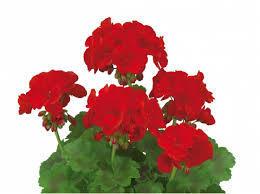 Muškát, pelargonie velkokvětá 'IRTA Novita Classic Red' - Pelargonium grandiflorum 'IRTA Novita Classic Red'