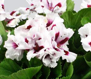 Muškát, pelargonie velkokvětá 'IRTA Novita Classic White Star' - Pelargonium grandiflorum 'IRTA Novita Classic White Star'
