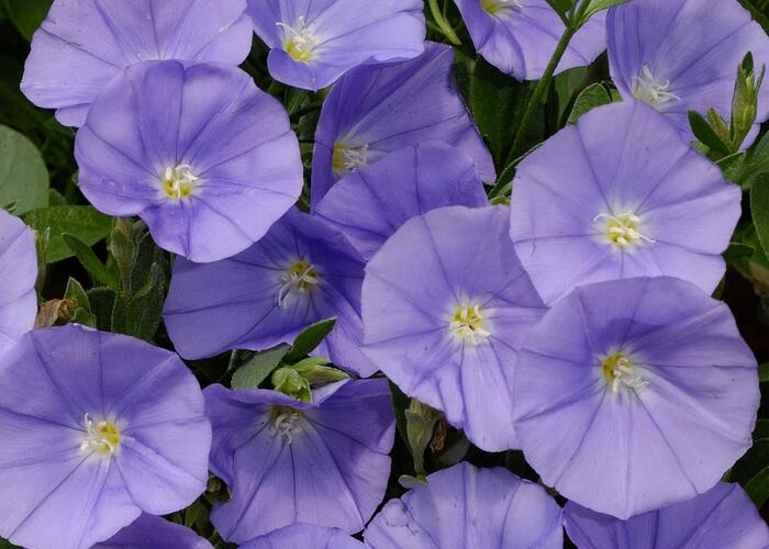 Svlačec savojský 'Manati Deep Blue' - Convolvulus sabatius 'Manati Deep Blue'