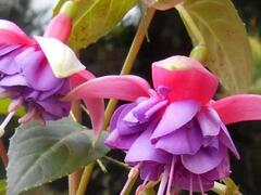 Čílko, fuchsie 'Colmar' - Fuchsia hybrida 'Colmar'