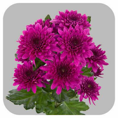 Listopadka indická 'Gompie Purple' - Dendranthema indicum 'Gompie Purple'