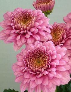 Listopadka indická 'Gompie Rose' - Dendranthema indicum 'Gompie Rose'