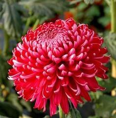 Listopadka indická 'Gompie Red' - Dendranthema indicum 'Gompie Red'