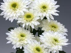 Listopadka indická 'Gompie White' - Dendranthema indicum 'Gompie White'