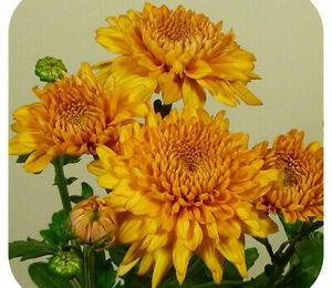 Listopadka indická 'Gompie Yellow' - Dendranthema indicum 'Gompie Yellow'