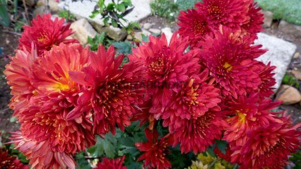 Listopadka indická 'Littleton Red' - Dendranthema indicum 'Littleton Red'