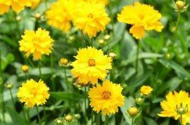 Listopadka indická 'Littleton Yellow' - Dendranthema indicum 'Littleton Yellow'
