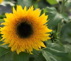 Slunečnice roční 'Starbust Panache' - Helianthus annuus 'Starbust Panache'