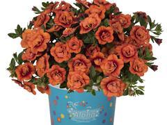 Minipetunie, Million Bells 'Aloha Double Orange' - Calibrachoa hybrida 'Aloha Double Orange'