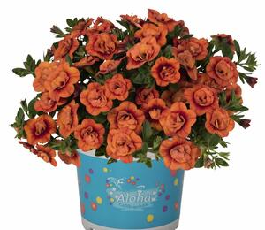Minipetunie, Million Bells 'Aloha Double Orange' - Calibrachoa hybrida 'Aloha Double Orange'