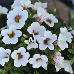 Minipetunie, Million Bells 'Royal White' - Calibrachoa hybrida 'Royal White'