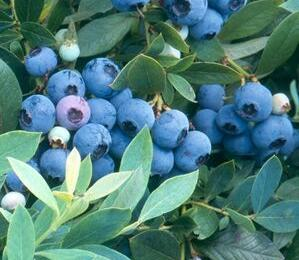 Borůvka chocholičnatá, kanadská borůvka - Vaccinium corymbosum 'Sunshine Blue'