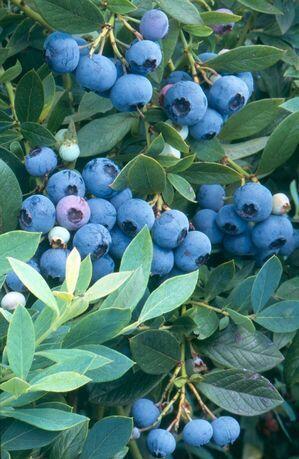 Borůvka chocholičnatá, kanadská borůvka 'Sunshine Blue' - Vaccinium corymbosum 'Sunshine Blue'