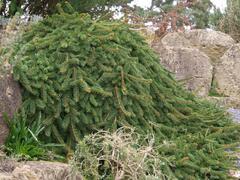 Smrk ztepilý 'Inversa' - Picea abies 'Inversa'